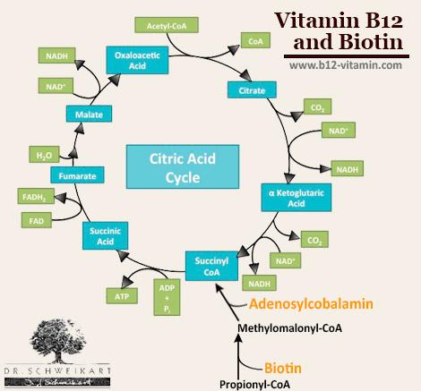 Vitamin B12 and Biotin | Dr  Schweikart
