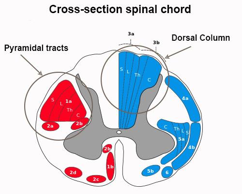 b12-spinal-chord
